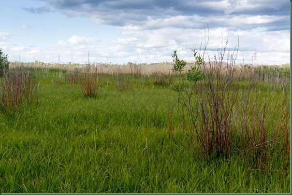 Reed Bunting (Emberiza schoeniclus).