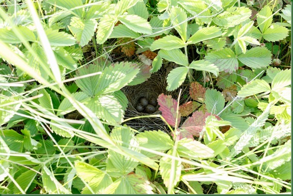 Овсянка камышовая. Reed Bunting (Emberiza schoeniclus).
