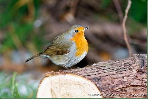 Зарянка. Robin (Erithacus rubecula).