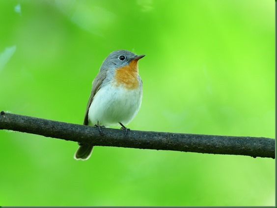 Red-breasted Flycatcher (Ficedula parva).