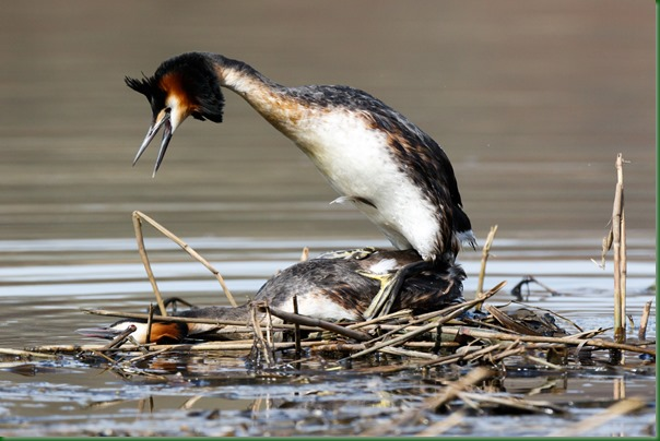 Поганка большая. Great Crested Grebe (Podiceps cristatus).