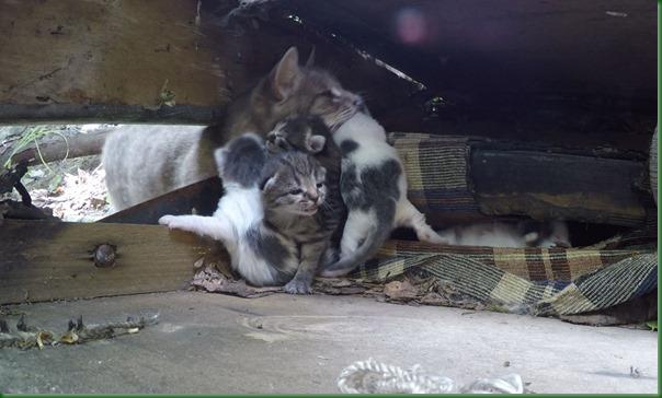 2018-07-21 Как кошка спасает котят от людей