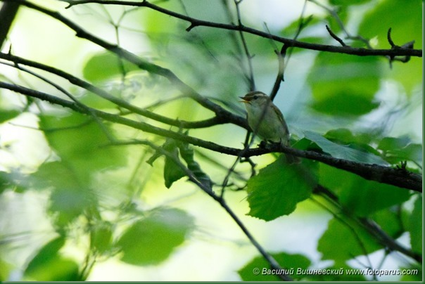 Пеночка зеленая. Greenish Warbler (Phylloscopus trochiloides).
