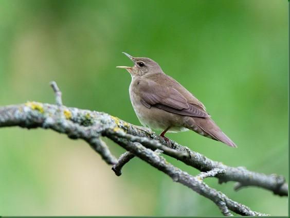 Сверчок речной. River Warbler (Locustella fluviatilis).