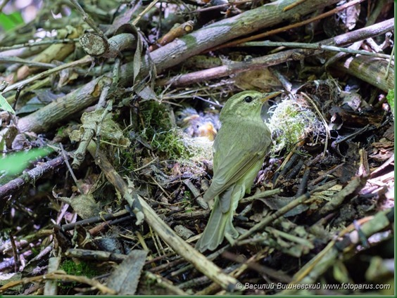 Гнездо. Пеночка зеленая, Phylloscopus trochiloides. The nest of the Greenish Warbler in nature.