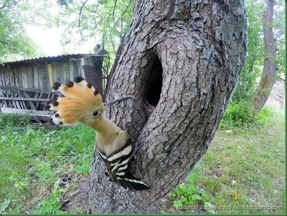 Дупло удода, Upupa epops. The nest of the Hoopoe in nature.