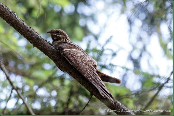Козодой обыкновенный. European Nightjar (Caprimulgus europaeus).