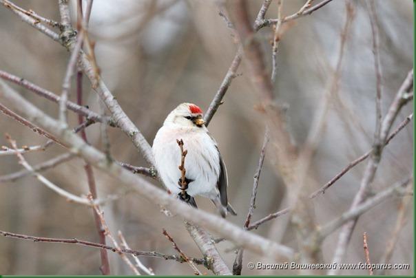 Чечетка пепельная. Arctic Redpoll (Acanthis hornemanni).