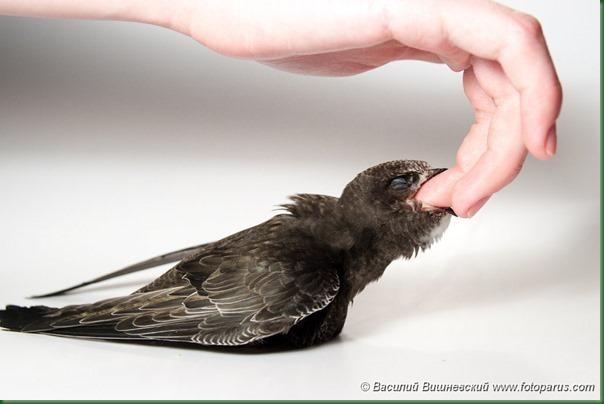 Стриж черный, Apus apus, Common Swift.