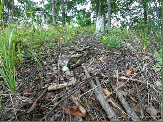 Гнездо. Козодой обыкновенный, Caprimulgus europaeus. The nest of the European Nightjar in nature.