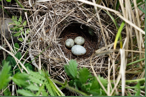 Гнездо. Славка серая, Sylvia communis. The nest of the Whitethroat in nature. Кукушка обыкновенная. Common Cuckoo (Cuculus canorus).