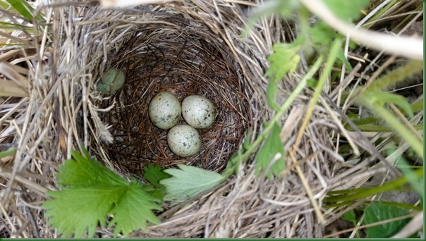 Гнездо. Славка серая, Sylvia communis. The nest of the Whitethroat in nature.