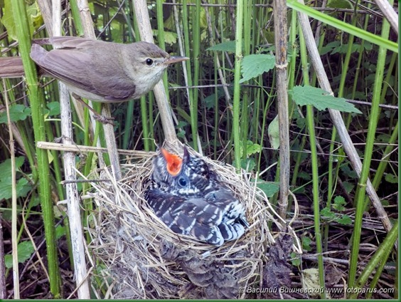 Гнездо. Камышовка болотная, Acrocephalus palustris. The nest of the Marsh Warbler in nature. Кукушка обыкновенная. Common Cuckoo (Cuculus canorus).