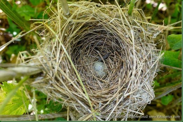 Гнездо. Камышовка садовая, Acrocephalus dumetorum. The nest of the Blyth's Reed Warbler in nature.