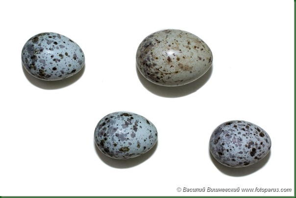 Птичьи яйца: Камышовка болотная, Acrocephalus palustris. The eggs of the Marsh Warbler in front of white background, isolated.