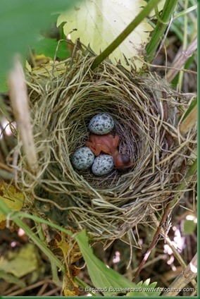 Гнездо. Камышовка болотная, Acrocephalus palustris. The nest of the Marsh Warbler in nature.