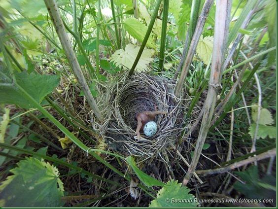 Гнездо. Камышовка болотная, Acrocephalus palustris. The nest of the Marsh Warbler in nature.
