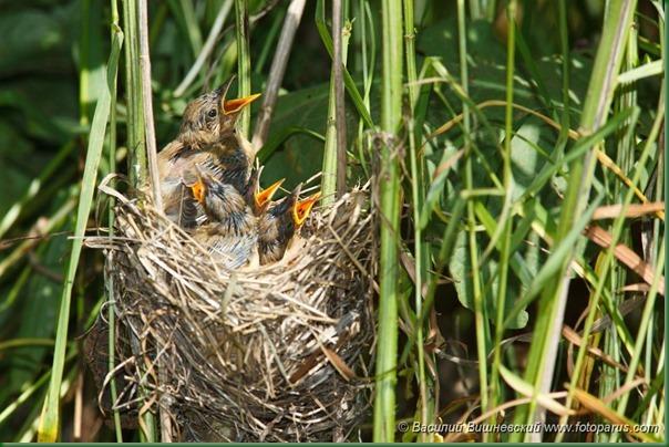 Камышовка болотная, Acrocephalus palustris, Marsh Warbler.
