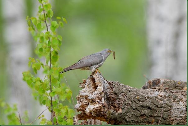 Кукушка обыкновенная. Common Cuckoo (Cuculus canorus).