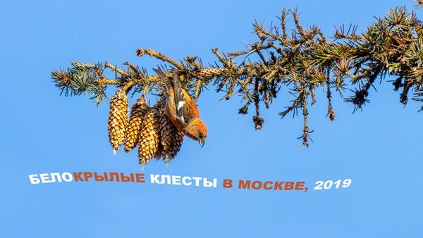 2019-12-15-Белокрылые-клесты-4К