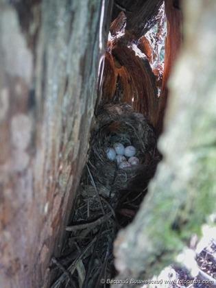 Гнездо. Пищуха обыкновенная, Certhia familiaris. The nest of the Tree Creeper in nature.