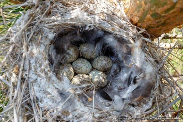 Гнездо. Сорокопут серый, Lanius excubitor. The nest of the Great Grey Shrike in nature.