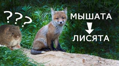 2020-06-27-Лиса-и-нора-ее