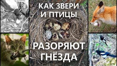 2020-07-28-Звери-разоряют-Гнезда
