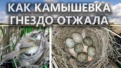 2020-09-01_кака-камышевка-гнездо-отжала