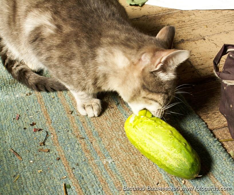 расположения почему кот ест семечки Гоффа коленного
