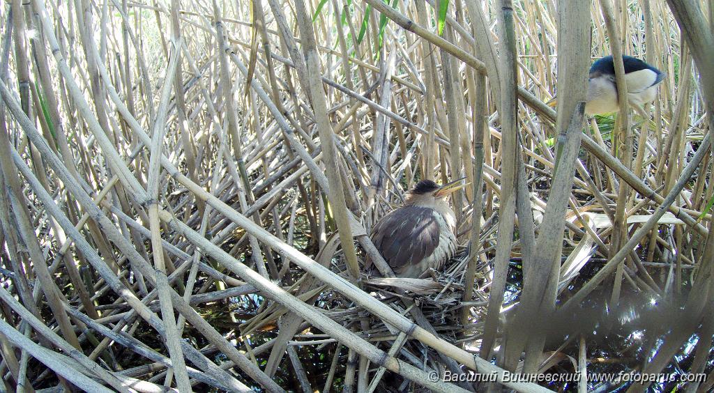 Least bittern nest